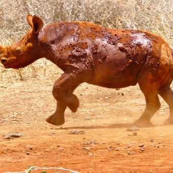 6mth old Black Rhino