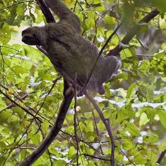 Sloth! Three toed variety.