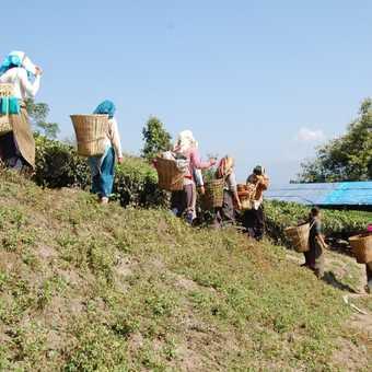 Tea pickers, near Darjeeling
