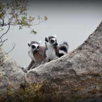 Playful Lemurs