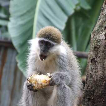 monkey Ethiopia