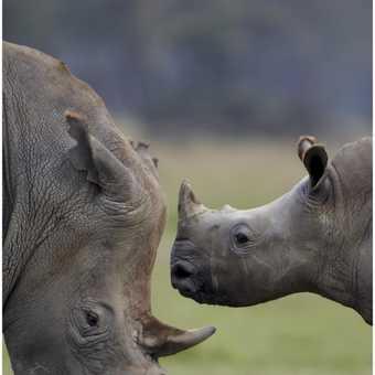 Lake Nakuru Rhino family
