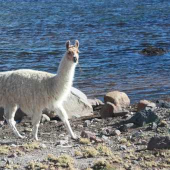 Lakeside Llama