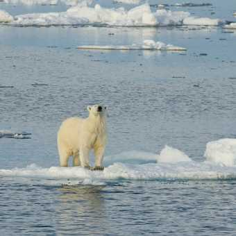 Bear on Small Ice Floe