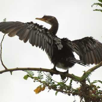 Cormorant on Ngamba Island, Uganda