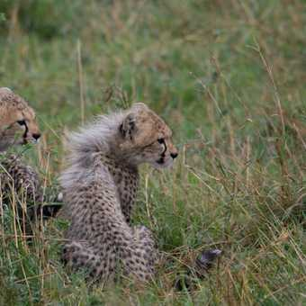 Speeding cheetah