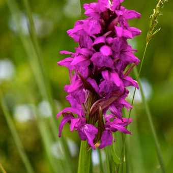 Flowers - Early Marsh Orchid