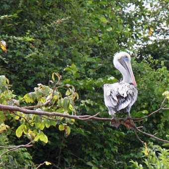 pelican Manuel Antonio NP