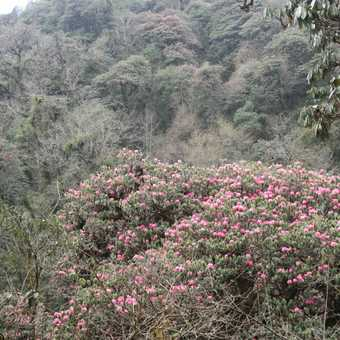 Rhododendron Forest in flower
