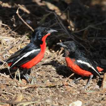 Crimson-breasted Shrike