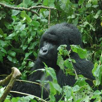 Rwand 2007 Mountain Gorilla