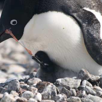 Adelie Penguin feeding its young on Paulet Island