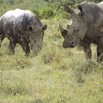 south African whit rhino in lake nakuru