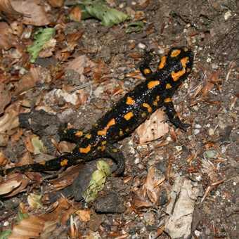 Salamander on the trail