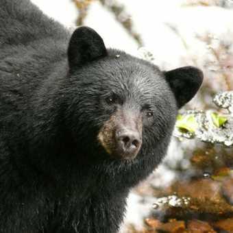 Black Bear at Ryordan