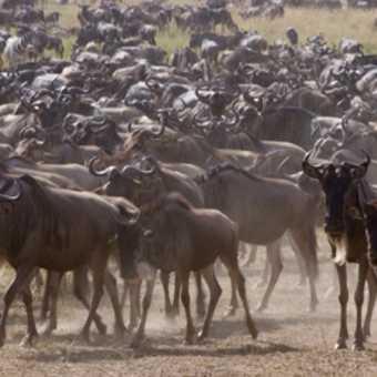 Wildebeest congregate near the Mara River.