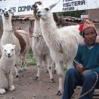 Man with his llamas