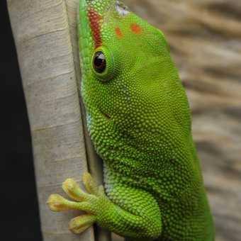 Very green ghecko