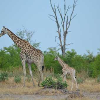 Mum and week old baby giraffe