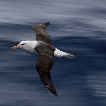 Black-browed albatross 1/40 second
