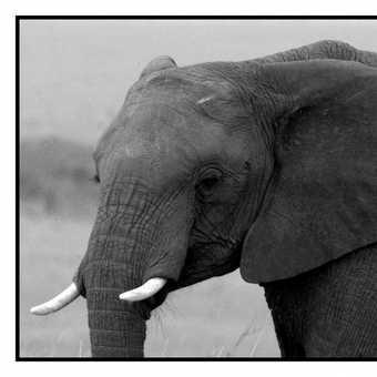 Elephant in the Mara