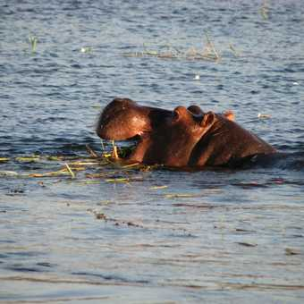Hungry Hippo, Chobe River, Botswana