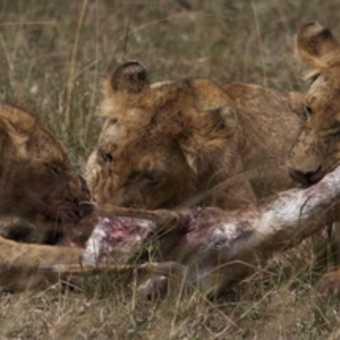 Lion family dines al fresco