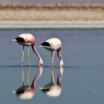 Andean Flamingos, Atacama Salt Flats
