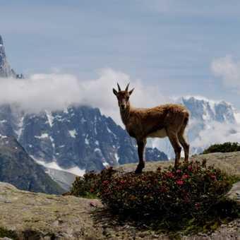 An Ibex at Lac Blanc