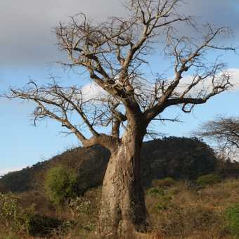 Baobab tree enroute to Dar Es Saalam