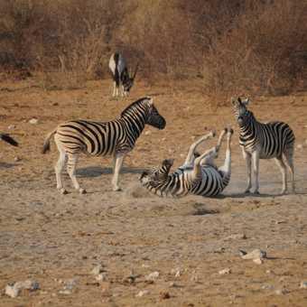 Zebra, Etosha.