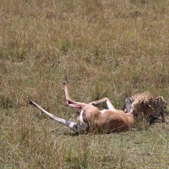 A cheetah brings down a large Grant's gazelle