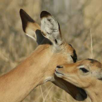 impala mother and baby