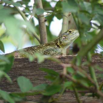 Lizard at Ndale Lodge