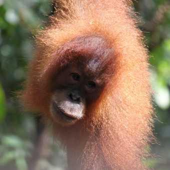 Sumatra - palm oil crop