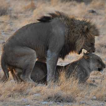 Lions mating in Etosha NP