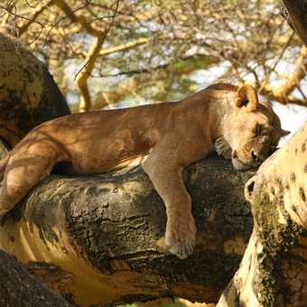 Lion up a tree