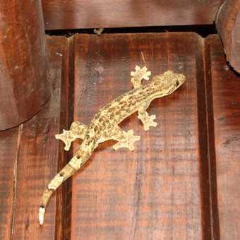 Smooth Gecko - OSA