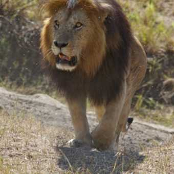 Magnificent lion.