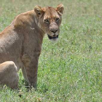 Lion from afar
