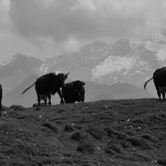 The grazers of the hills