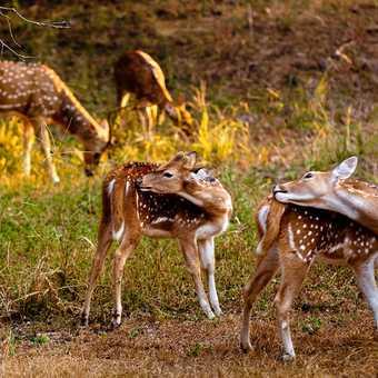 Spotted deer, dawn safari at Ranthambore