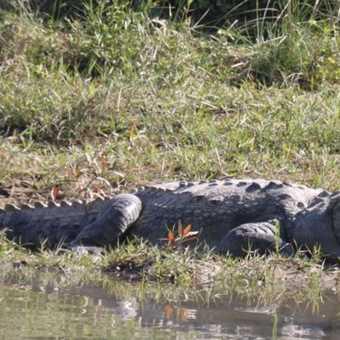 Crocodile of Chitwan