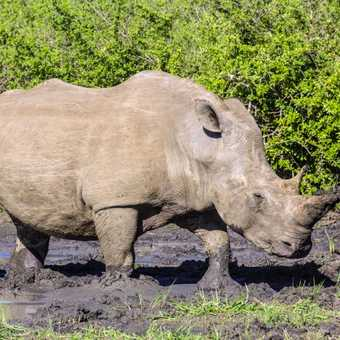 White rhino charging the back of our Land Rover as we accelerate away - Hlane NP