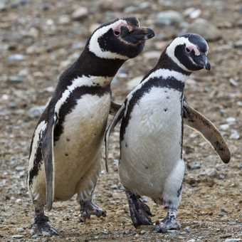 Magellanic Penguins Courting, Isla Magdalena