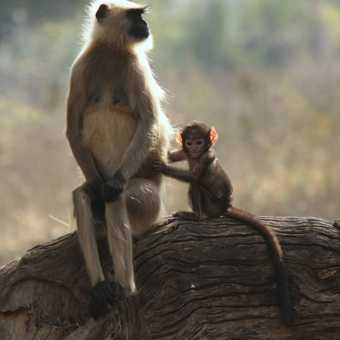 Langue Monkey and young resting