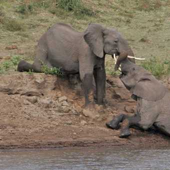 Elephants at play
