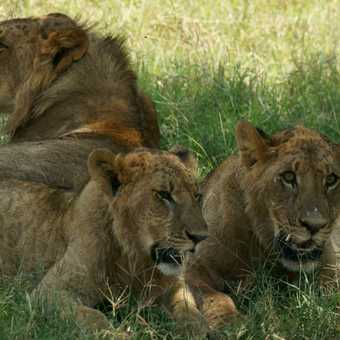 Lioness and two juvenile lions resting after feeding, Lake Nakuru