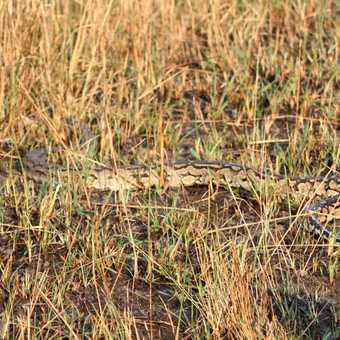 There's a python! - Okavango Delta