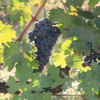 Vines at Fattoria Voltrano